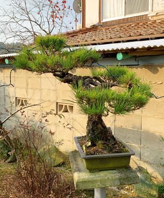 盆栽 松の剪定 Before