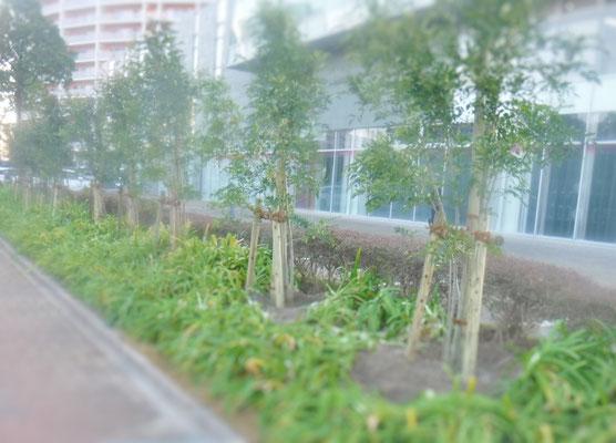 シマトネリコ20数本植栽完了