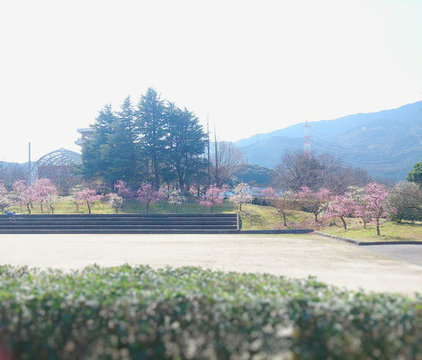 花畑園芸公園 枝垂れ梅