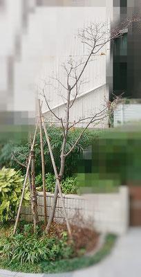 ハナミズキ植栽 Before