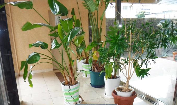 観葉植物 鉢替え Before