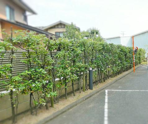 生垣カシ刈込み After