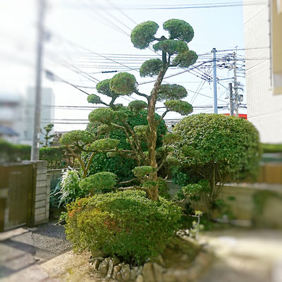 中高木剪定 After