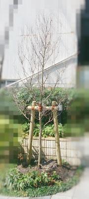 ハナミズキ植栽 After