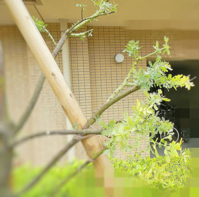 剪定後の枝先 2
