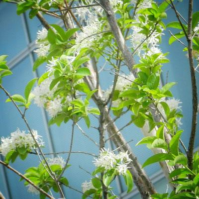 なんじゃもんじゃの花