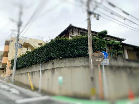 生垣サザンカ 強刈込 Before