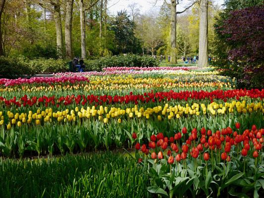 Tulpenbeete Keukenhof Holland Sehenswürdigkeit  Blumenfestival Keukenhof Holland Frühlingsblüten