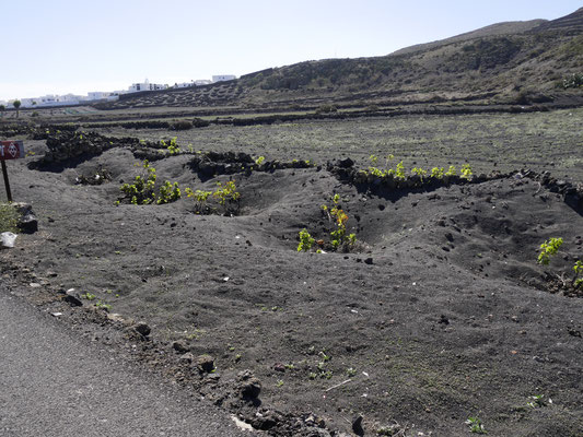 Weinanbau im Vulkanfeld Lanzarote