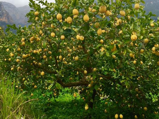 Orangenplantage in Soller Mallorca