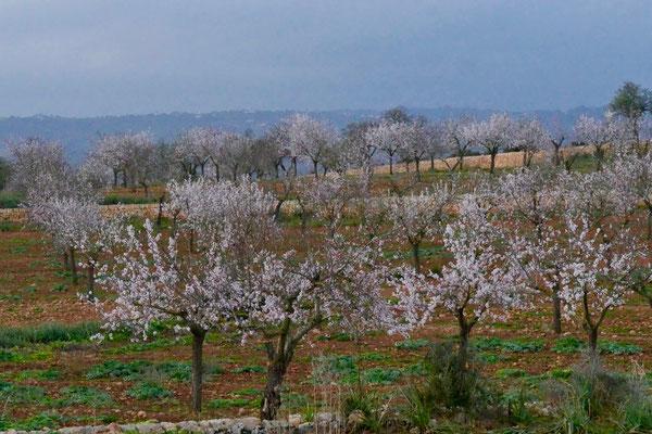Mallorca Impressionen Mandelblüten
