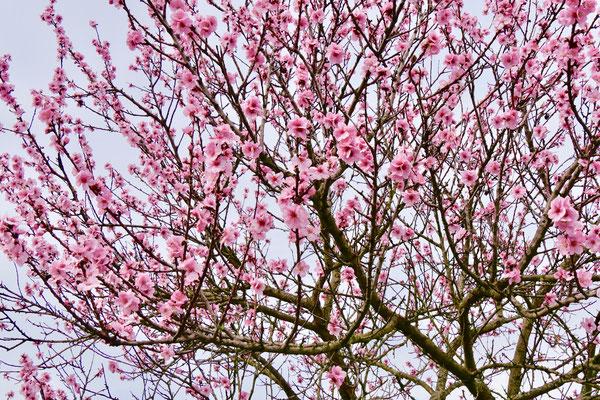 Mandelblüte in der Pfalz  Sehenswürdigkeit Deutschland Mandelblüte Rheinland Pfalz