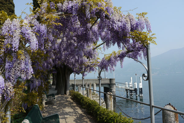 Prachtvolle Glyzienlaube am Comersee Italien