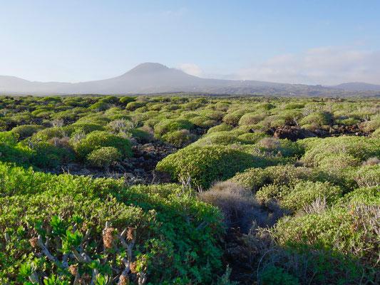 Sukkulenten wachsen auf der ausgedehnten Vulkanlandschaft