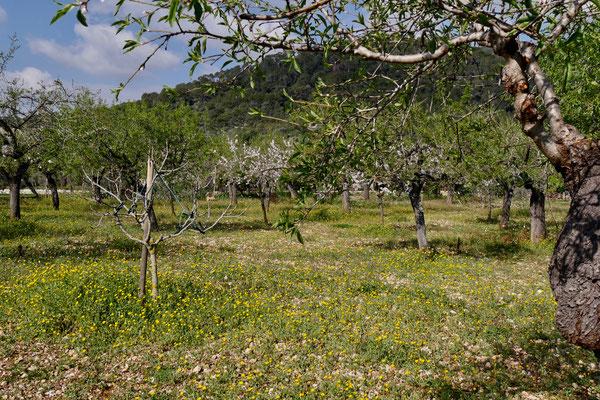 Mallorca Oliven Öl Plantage