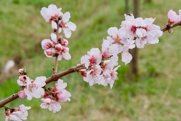 Mandelblüte in Rheinland Pfalz  Sehenswürdigkeit Deutschland Mandelblüte Rheinland Pfalz