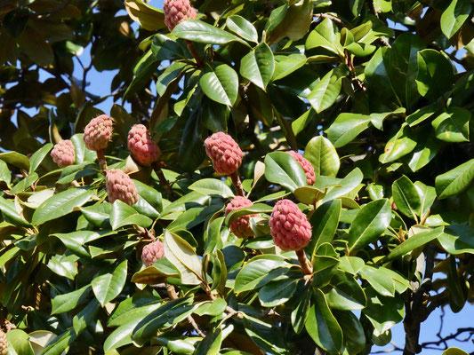 Magnolien Samenstand