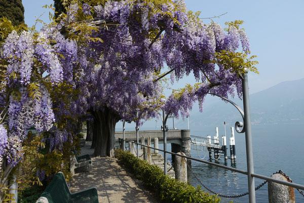 Comersee Italien Comersee Villa Carlotta Park Rhododendron Azaleen