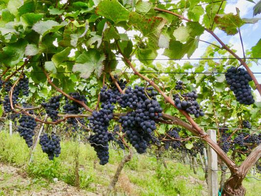 Rotwein im Ahrtal Weinberge