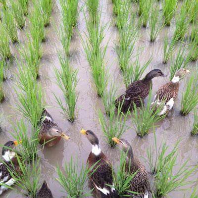 2015年は合鴨農法にもチャレンジしました。