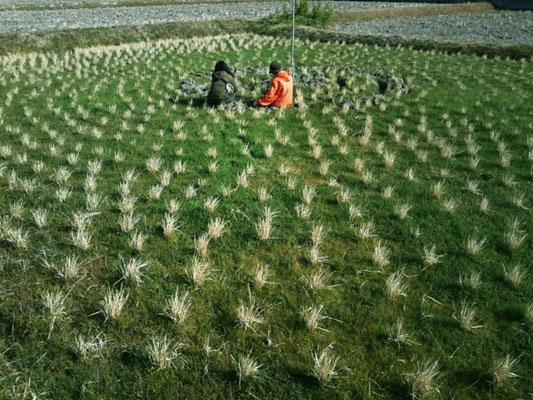 円形に植えた稲の株跡。