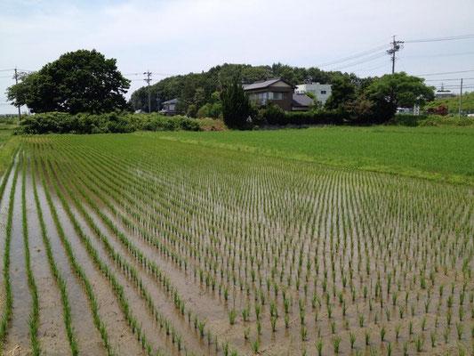 田植え後、6月頃のたんぼの様子です。