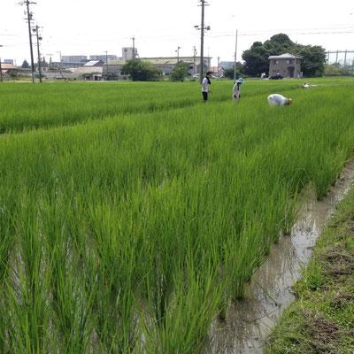 除草剤を極力使用せず、草取りは手で行ないます。