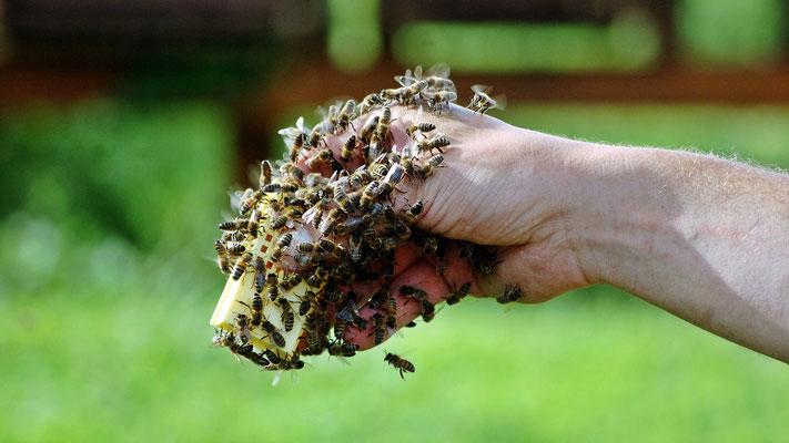 eine Hand voll Bienen