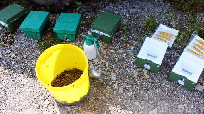 aus mehreren Völkern werden Bienen in einen Eimer abgekehrt und mit Wasser befeuchtet