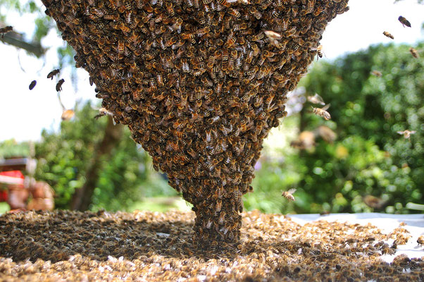 immer mehr Bienen sammeln sich um die Königing