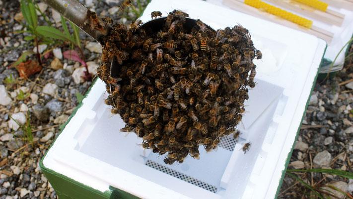 pro Begattungskästchen eine Schöpfkelle voll mit feuchten Bienen
