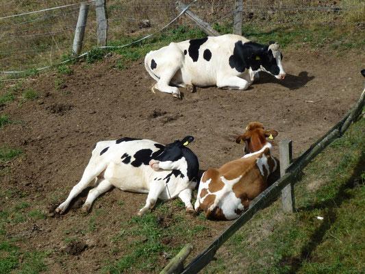 Bild: Kühe ruhen sich aus