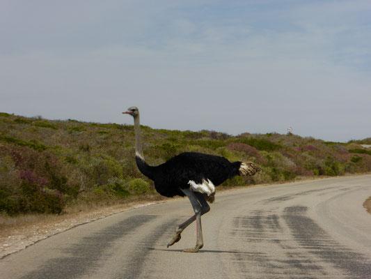 Bild: Vogel Strauß
