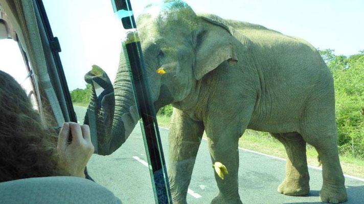 Bild: Elefant bettelt den Fahrer eines Pkw-s an.