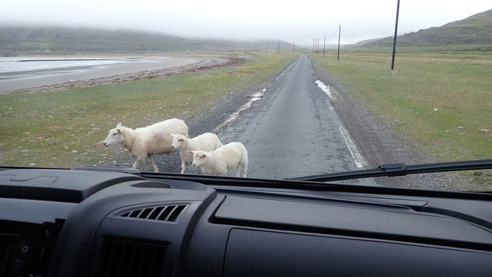 Bild: Schafe auf der Straße  nach Vardø