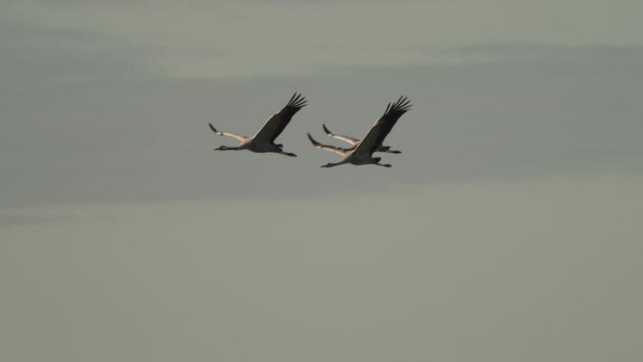 Bild: Kraniche im Flug