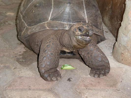 Bild: Riesenschildkröte