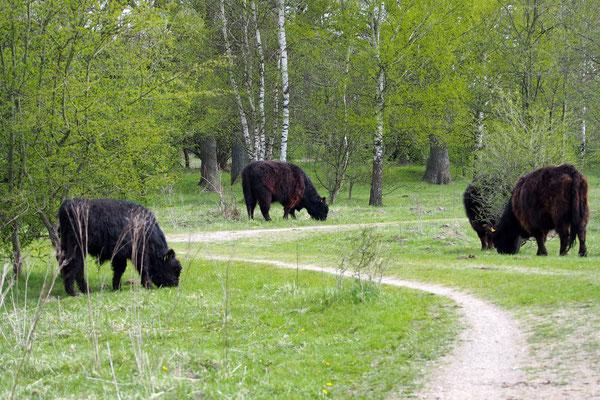 Bild: Rinder im Naturschutzgebiet Höltigbaum