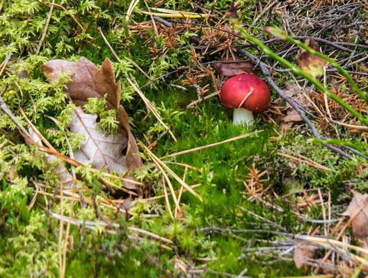Bild: Der süßeste Pilz auf Dyrön