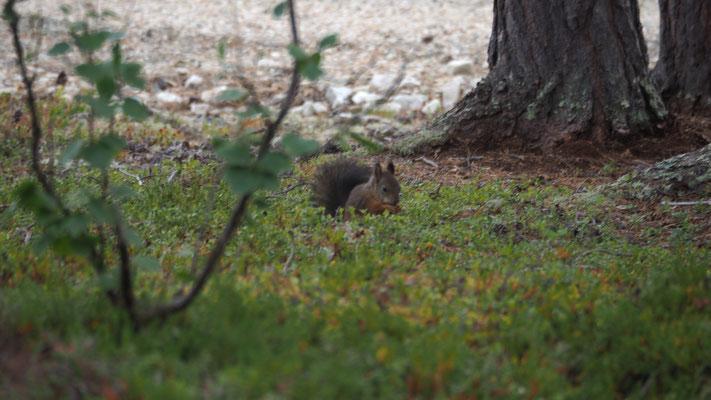 Bild: Eichhörnchen