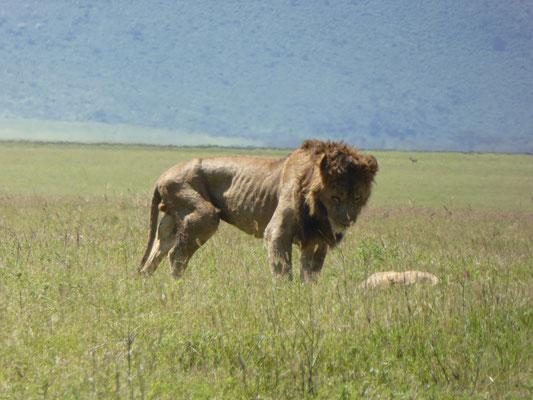 Bild: Löwe bei seiner Beute