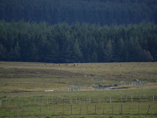Bild: eine riesige Hirschherde