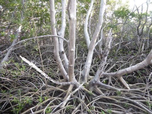 Bild: Mangroven am Lovers Key