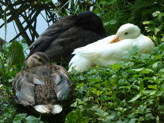 Ente beim Brüten