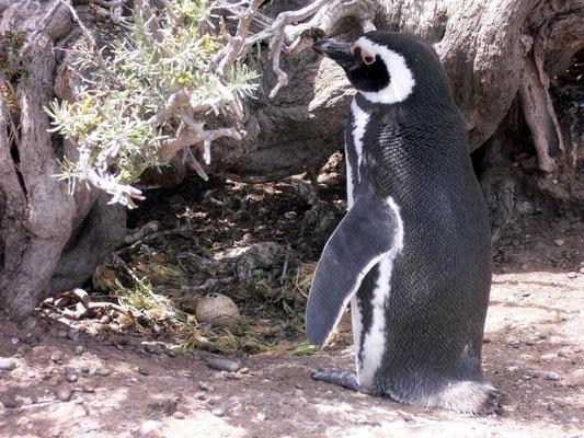 Bild: Pinguin vor seinem Nest