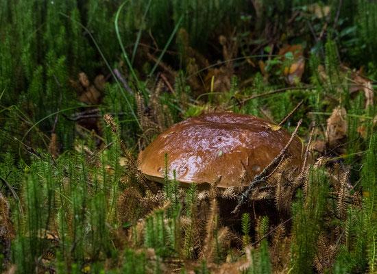 Bild: Ein riesiger Steinpilz