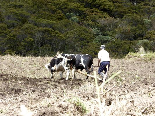 Bild: Bauer beackert sein Land mit dem Pflug vor die er eine Kuh gespannt hat