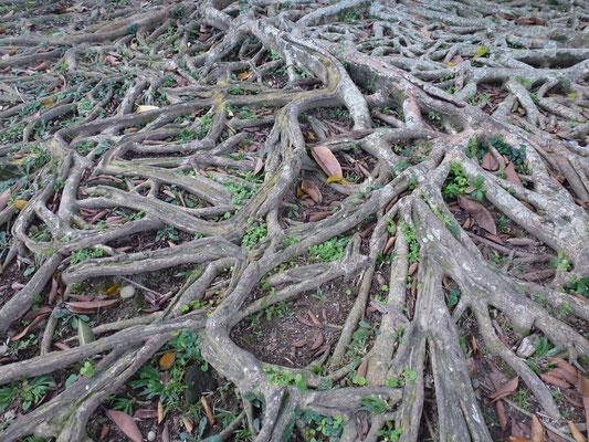 Bild: Wurzeln eines Baumes