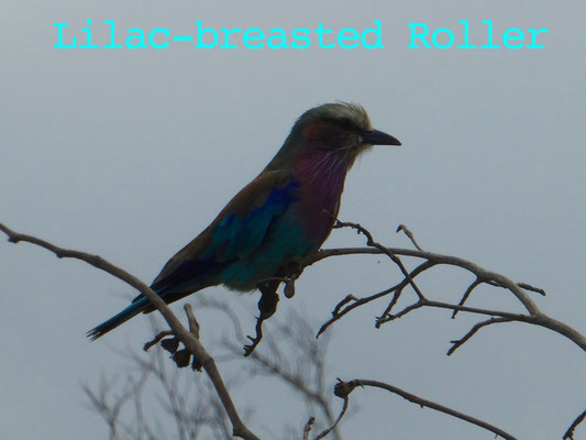 Lyle-breasted color bird