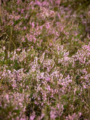 Bild: Die Heide blüht (Heidekraut)